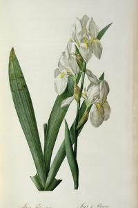 Iris Florentina, from `Les Liliacees', 1805 by Pierre-Joseph Redouté