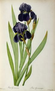 Iris Germanica, from Les Liliacees by Pierre-Joseph Redouté