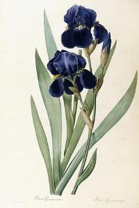 Iris Germanica by Pierre-Joseph Redouté