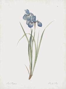 Iris Pratensis by Pierre Joseph Redoute