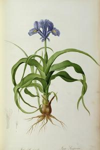 Iris Scorpioides, from `Les Liliacees', 1805 by Pierre Joseph Redoute