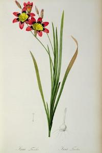 Ixia Tricolor, from `Les Liliacees', 1805 by Pierre-Joseph Redouté