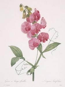 Lathyrus Latifolius (Everlasting Pea), 1827 by Pierre Joseph Redoute