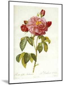 Les Duchess d'Orleans Rose by Pierre-Joseph Redouté