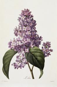 Lilacs by Pierre-Joseph Redouté