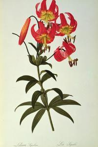 Lilium Superbum, from `Les Liliacees', 1805 by Pierre-Joseph Redouté