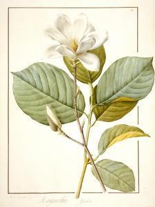 Magnolia Yulan, Magnolia Denudata, 1812 (W/C and Bodycolour over Traces of Graphite on Vellum) by Pierre Joseph Redoute