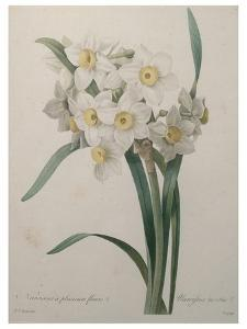 Narcisses by Pierre-Joseph Redoute