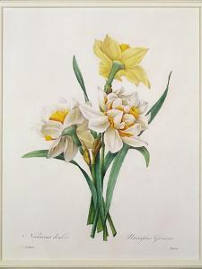 Narcissus Gouani (Double Daffodil), Engraved by Bessin, from 'Choix Des Plus Belles Fleurs', 1827 by Pierre-Joseph Redouté