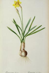 Narcissus Gouani, from 'Les Liliacees', 1805 by Pierre Joseph Redoute