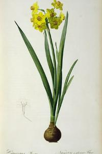 Narcissus Lazetta, from `'Plantae Selectae' by Christoph Jakob Trew by Pierre-Joseph Redouté