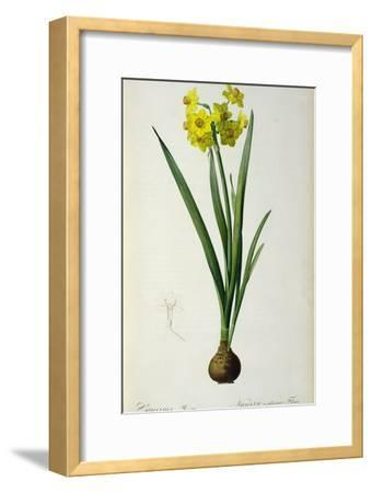 Narcissus Lazetta, from `'Plantae Selectae' by Christoph Jakob Trew