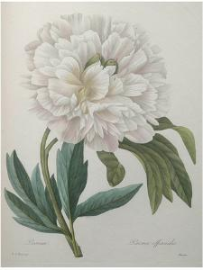 Official Peony by Pierre-Joseph Redoute