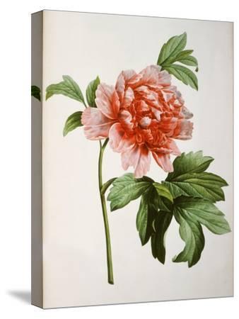 Paeonia Moutan or Peony, from Plantes Rares a Malmaison