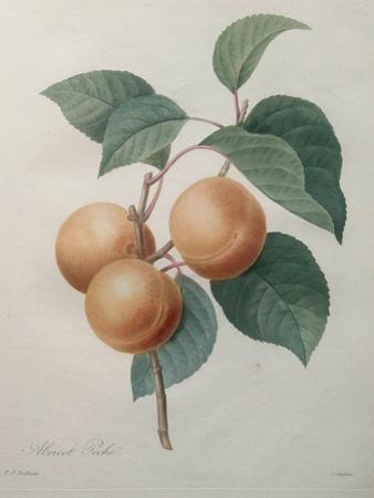 Peach Nancy by Pierre-Joseph Redoute