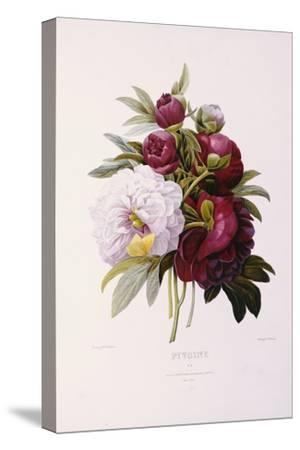 Peonies, Engraved by Prevost