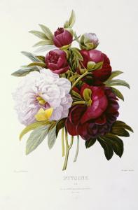 Peonies by Pierre-Joseph Redouté
