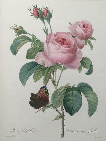 Framed print of a Redout\u00e9 Rose