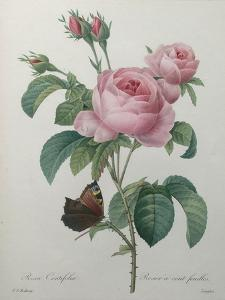 Petaled Rose by Pierre-Joseph Redoute