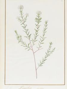 Pimelea Linifolia, 1812 by Pierre Joseph Redoute