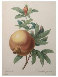 Pomegranate by Pierre-Joseph Redoute