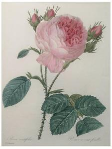 Provence or Cabbage Rose by Pierre-Joseph Redoute