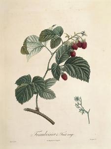 Raspberry by Pierre Joseph Redoute