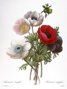 Redoute: Anemone, 1833 by Pierre-Joseph Redouté