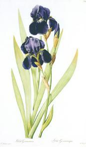 Redoute Iris Germanica by Pierre-Joseph Redouté