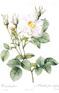 Redoute Rosa Alla Foliacea by Pierre-Joseph Redouté