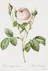 Redoute Rosa Centifolia Carnea by Pierre-Joseph Redouté