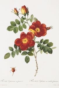 Redoute Rosa Eglanteria var. punicea by Pierre-Joseph Redouté