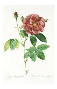 Redoute Rosa Gallica Officinalis by Pierre-Joseph Redouté