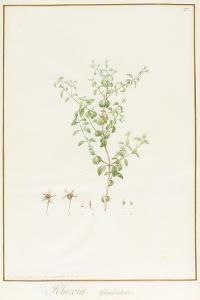 Rhexia Glandulosa (W/C and Bodycolour over Traces of Graphite on Vellum) by Pierre Joseph Redoute