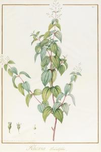 Rhexia Pendulifolia (W/C and Bodycolour over Traces of Graphite on Vellum) by Pierre Joseph Redoute
