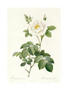 Rosa Alba Flore Pleno by Pierre-Joseph Redouté