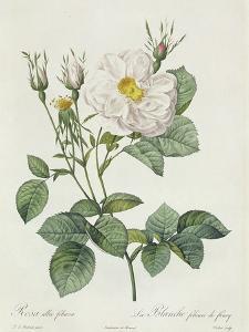 Rosa Alba Foliacea by Pierre-Joseph Redouté