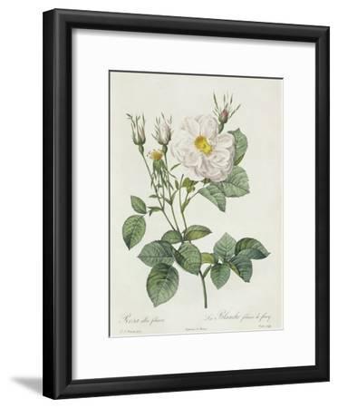 Rosa Alba Foliacea