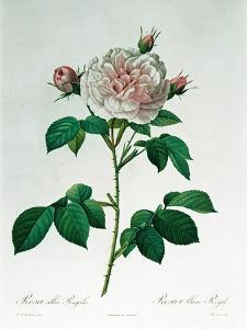 Rosa Alba Regalis, Engraved by Bessin by Pierre-Joseph Redouté