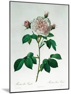 Rosa Alba Regalis, Engraved by Bessin by Pierre-Joseph Redouté
