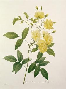 Rosa Banksiae (Banks's Rose), from 'Choix Des Plus Belles Fleurs', 1827 by Pierre-Joseph Redouté