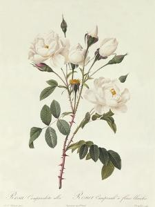 Rosa Campanulata Alba by Pierre-Joseph Redouté