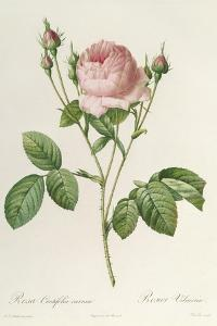 Rosa Centifolia Carnea, From'Les Roses', 19th Century by Pierre-Joseph Redouté