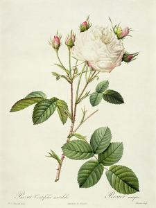 Rosa Centifolia Mutabilis, Engraved by Bessin, Published by Remond by Pierre-Joseph Redouté