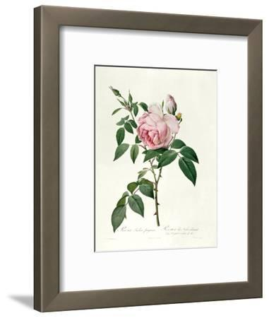 Rosa Chinensis and Rosa Gigantea, from 'Les Roses', 1817