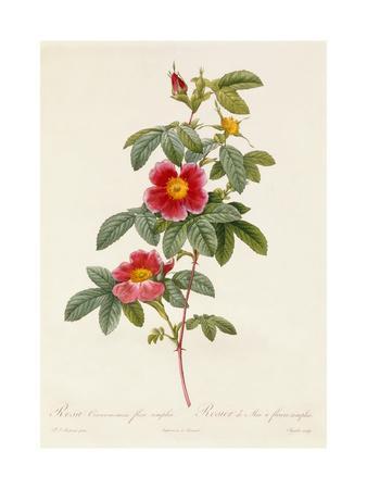 Rosa Cinnamomea Flore Simplici