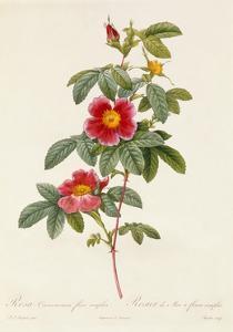 Rosa Cinnamomea Flore Simplici by Pierre-Joseph Redouté