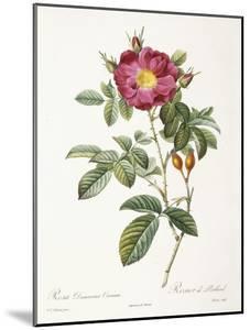 Rosa Damascena Coccina by Pierre-Joseph Redouté