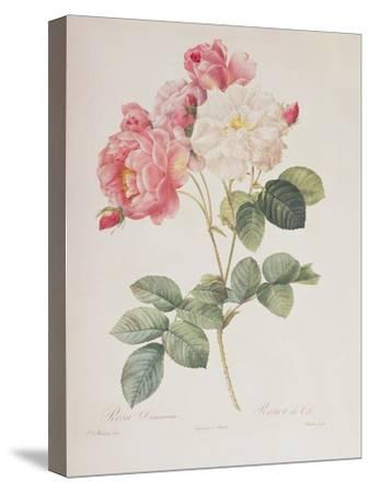 Rosa Damascena, from 'Les Roses', 1817