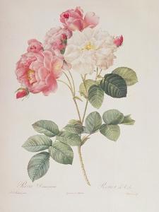 Rosa Damascena, from 'Les Roses', 1817 by Pierre-Joseph Redouté